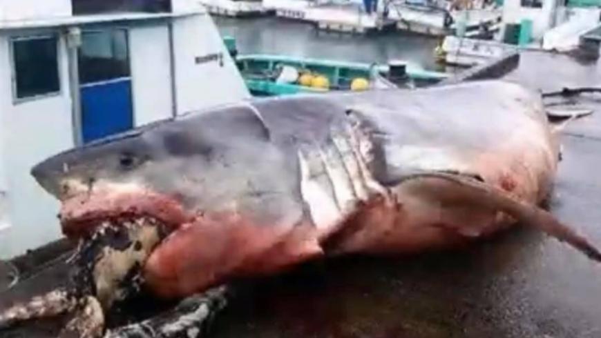 日本外海一条大白鲨被海龟鲠死