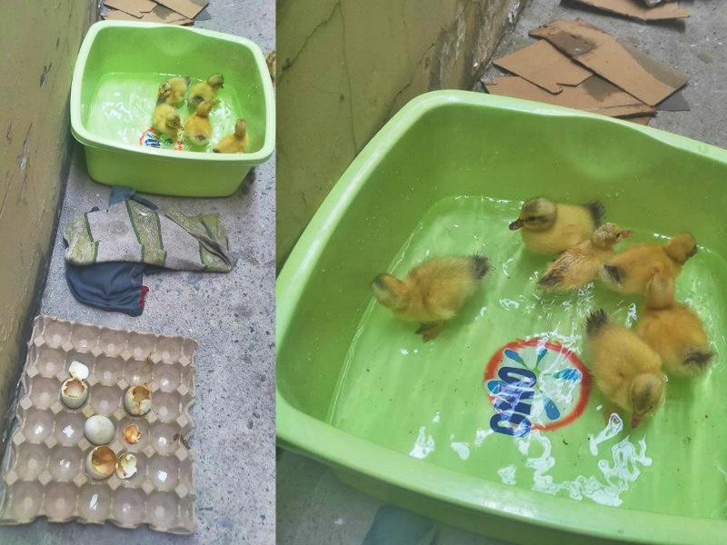 越南天氣熱到鴨蛋也孵化。網上圖片