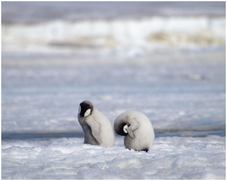 数千帝皇企鹅宝宝溺毙。AP