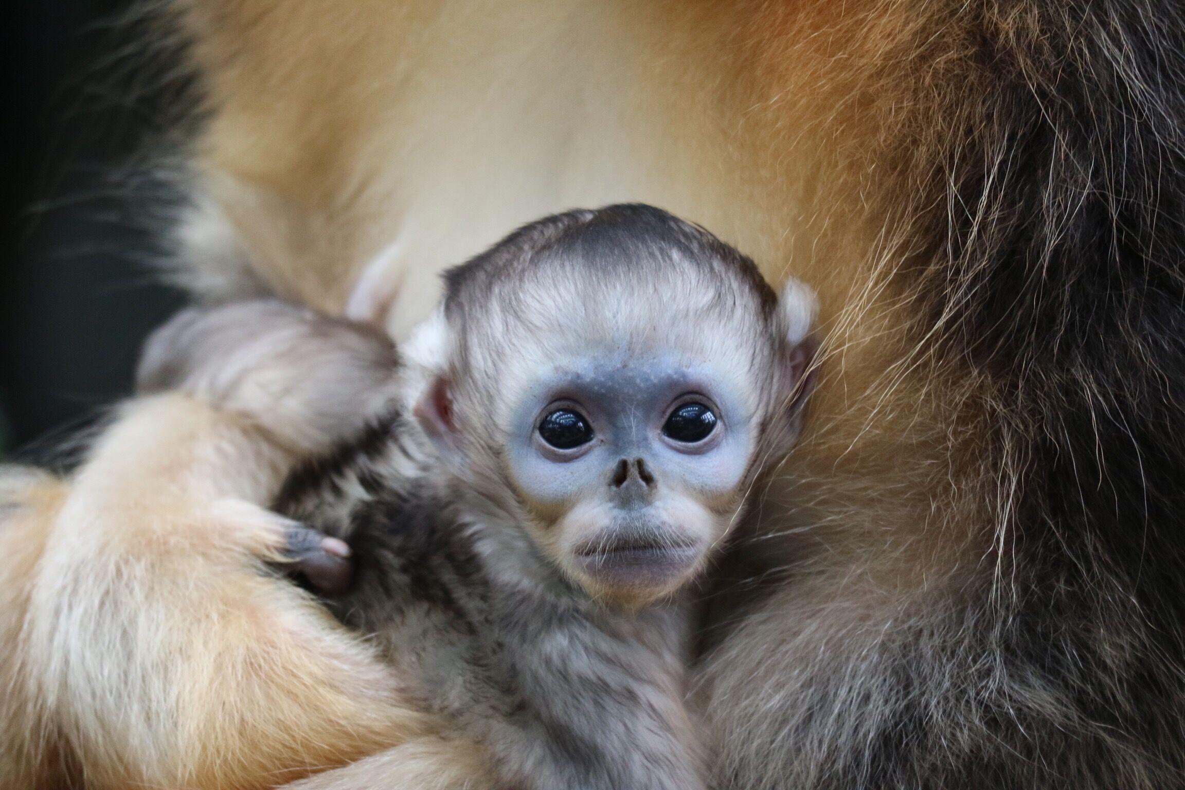 海洋公園誕生的第二隻川金絲猴寶寶