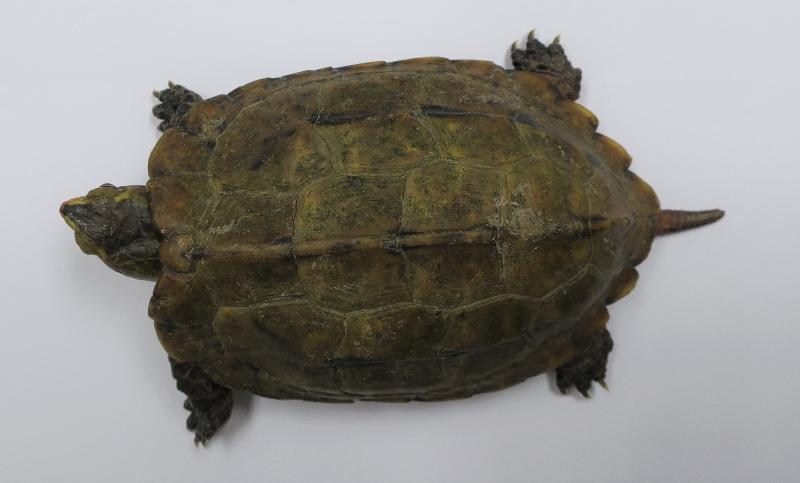 一名旅客因走私日本地龜,違反《保護瀕危動植物物種條例》,被判處監禁。  警方圖片