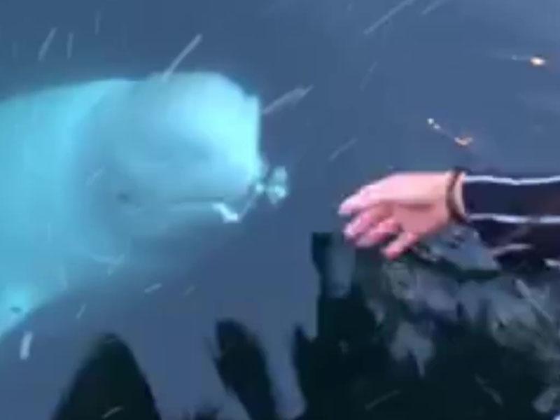 遊客iPhone掉海裏,白鯨浮海面叼回給失主。(網圖)