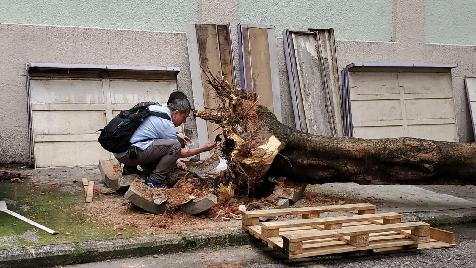 樹木辦人員到場檢查倒塌的鳳凰木。