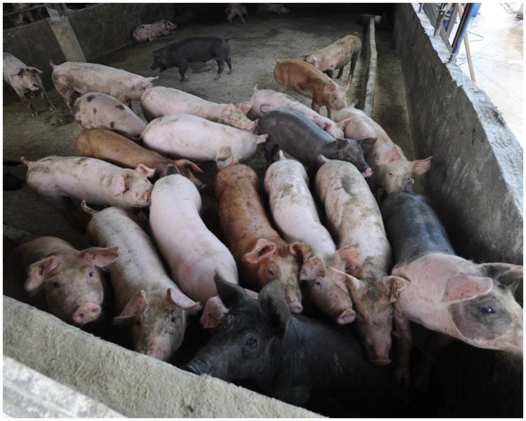 上水屠房的豬驗出非洲豬瘟。資料圖片