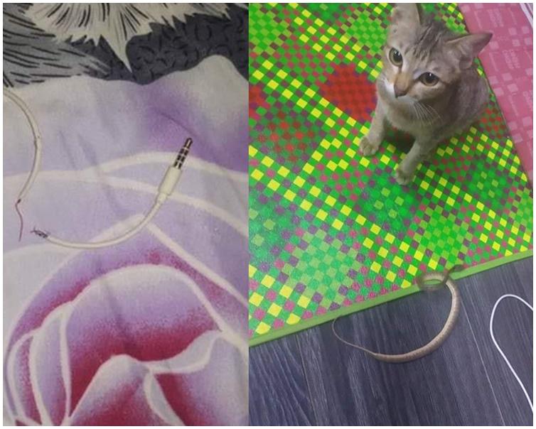 猫咪咬断耳机知衰捉小蛇向主人赔罪。Fb