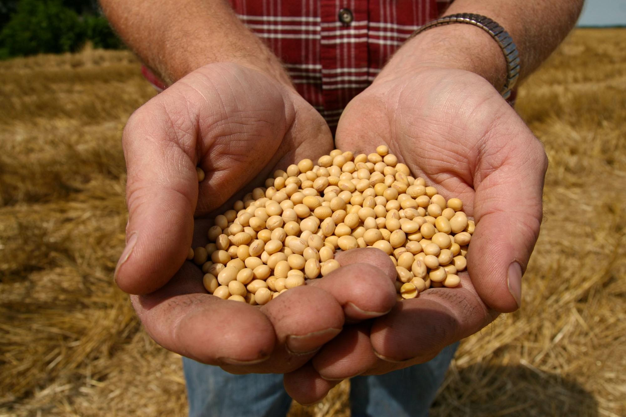 美國大豆成為中國制裁對象之一。AP圖片