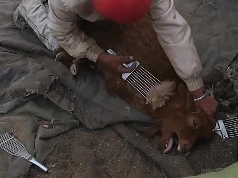 山羊慘叫連連,工作人員用金屬梳子從牠們身上扯下一撮又一撮的毛髮,手法殘忍。(網圖)