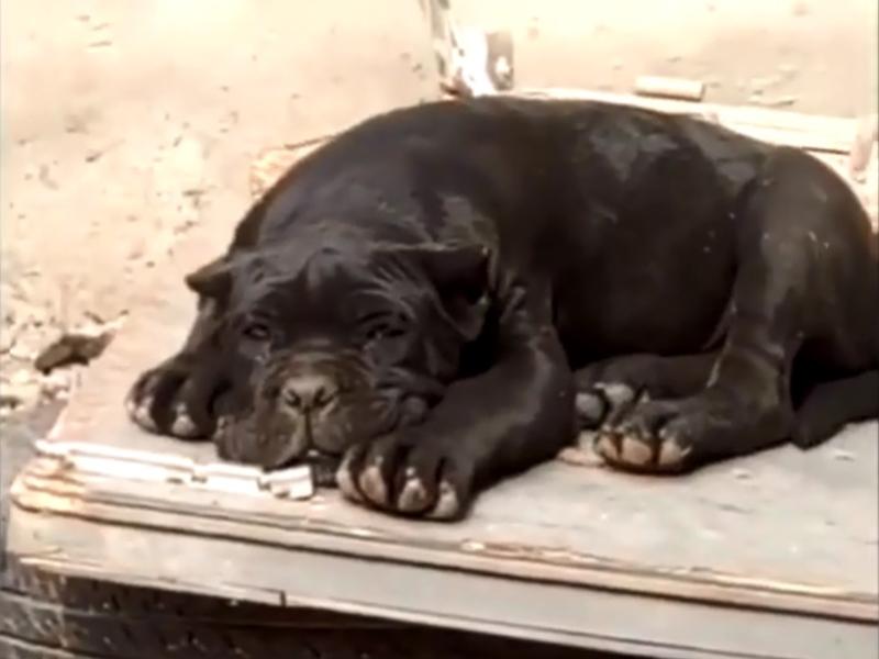 該隻叫「城管」的狗。 網上圖片