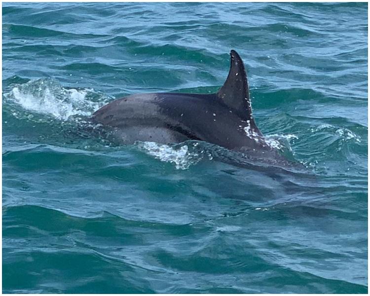 海豚為幼年亞熱帶斑海豚。