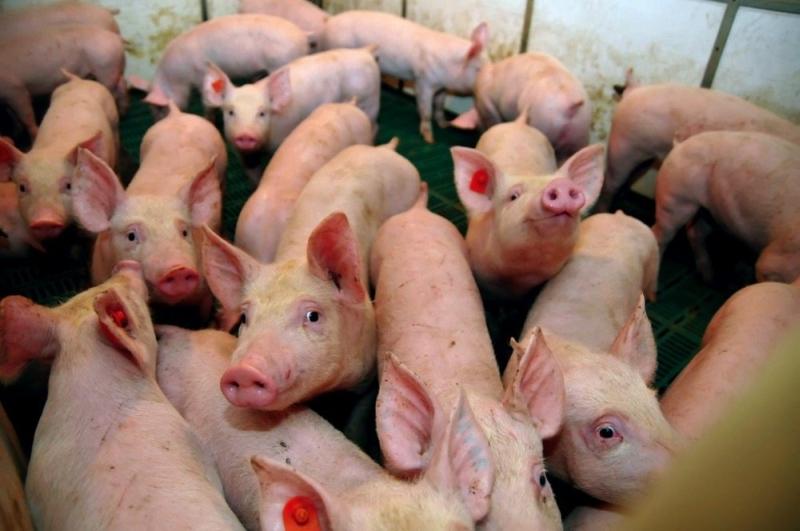 美國農業部數據顯示,中國買家上周取消3247噸美國豬肉進口訂單,是逾一年來最大規模訂單取消。(網圖)