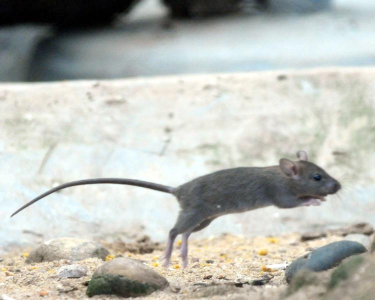 当局本月20日起推展全城清洁,为期3个月,加强灭鼠和防鼠。资料图片