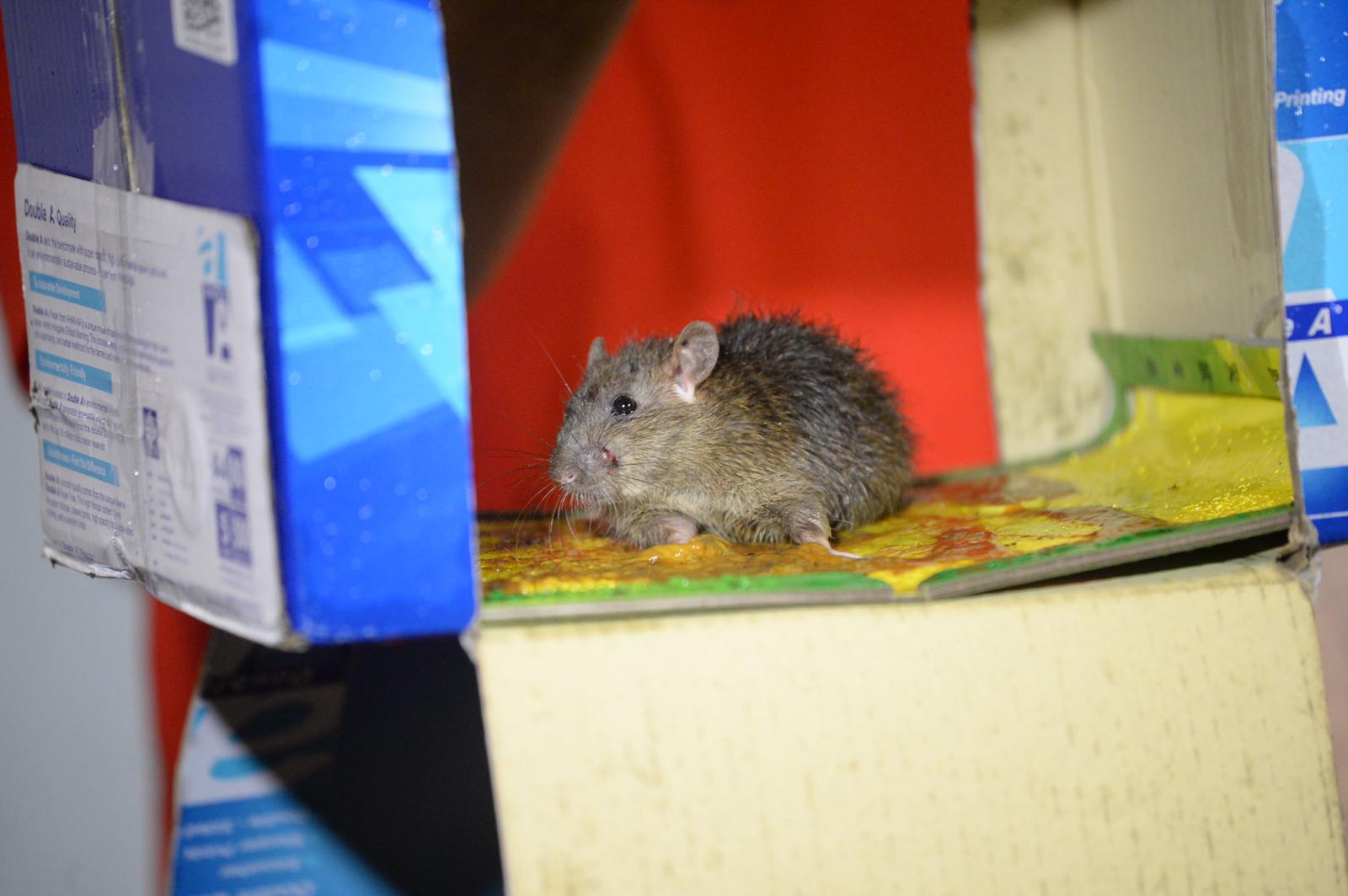 老鼠被黏在置有老鼠膠的紙箱內動彈不得。