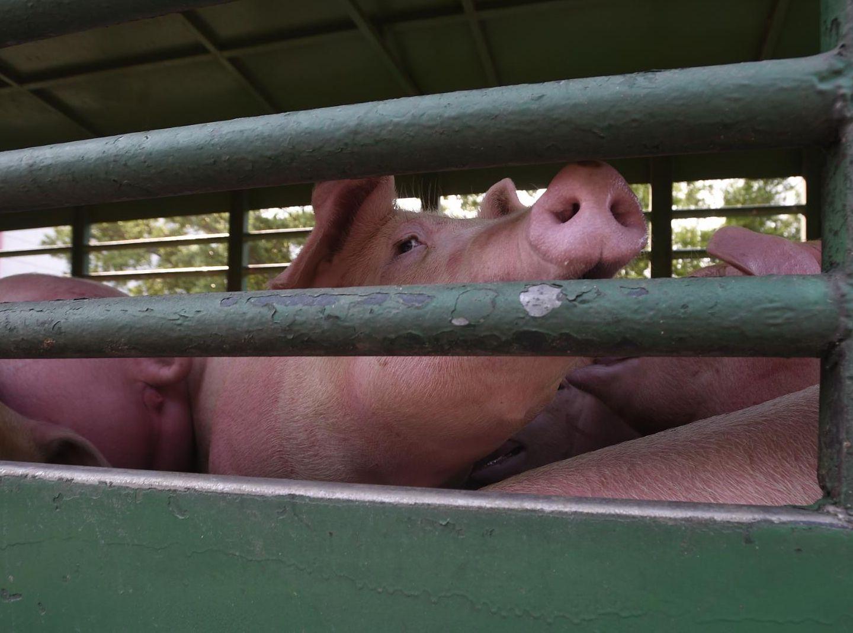 荃灣屠房: 【非洲豬瘟】新鮮豬肉明供應市場 活豬拍賣價格參差 -- 星島日報