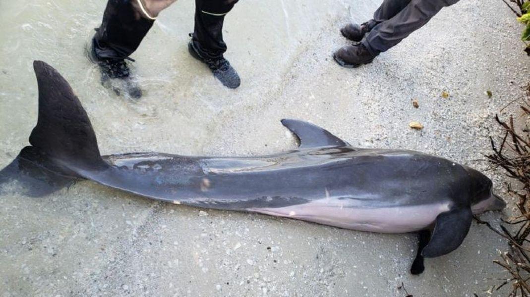 小海豚無法進食而死亡。FWC fb