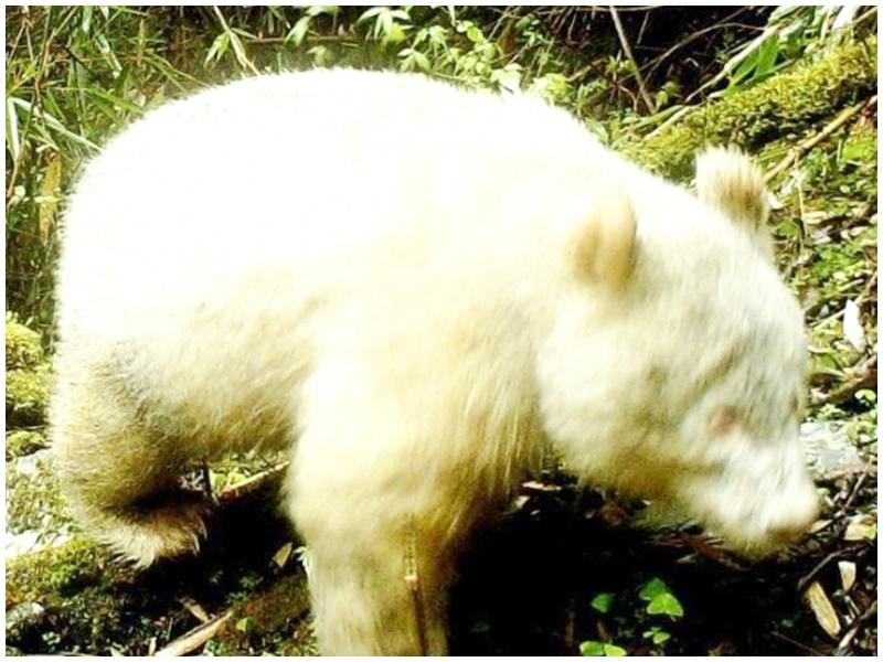 全球首例白化大熊猫。网图