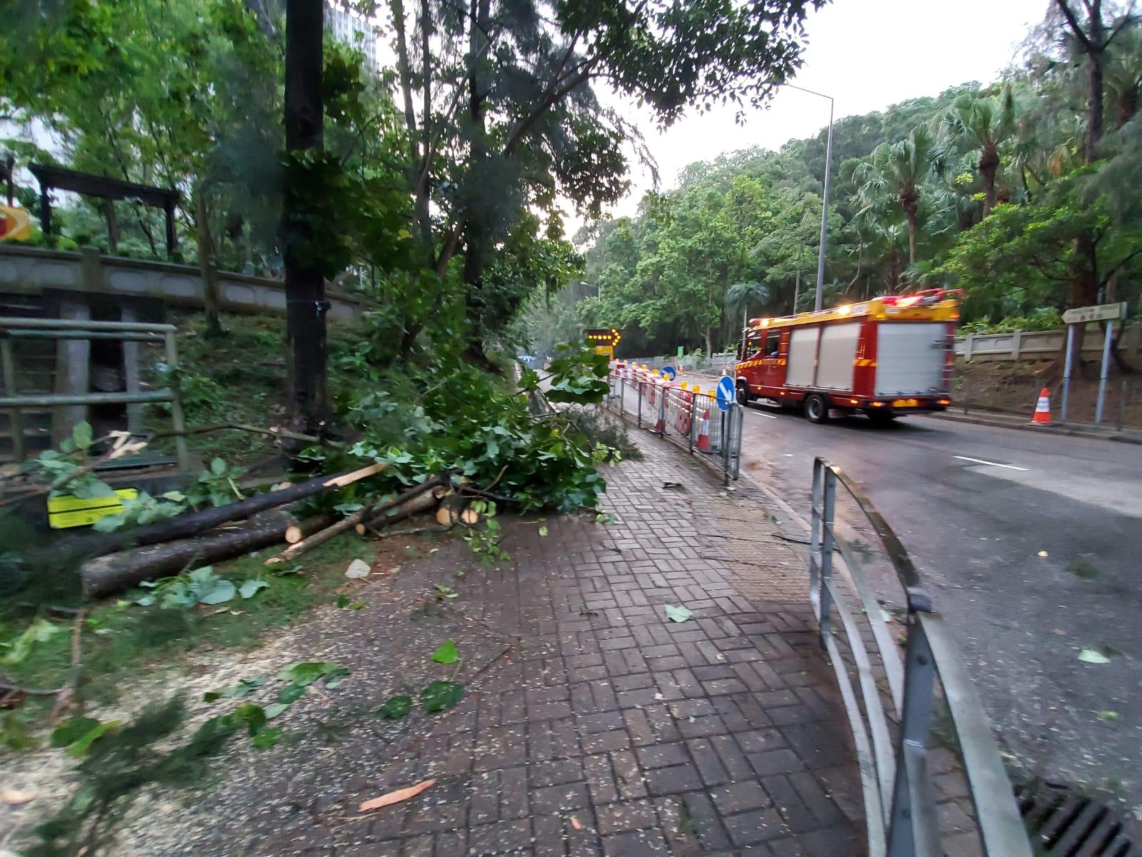 塌樹現場。