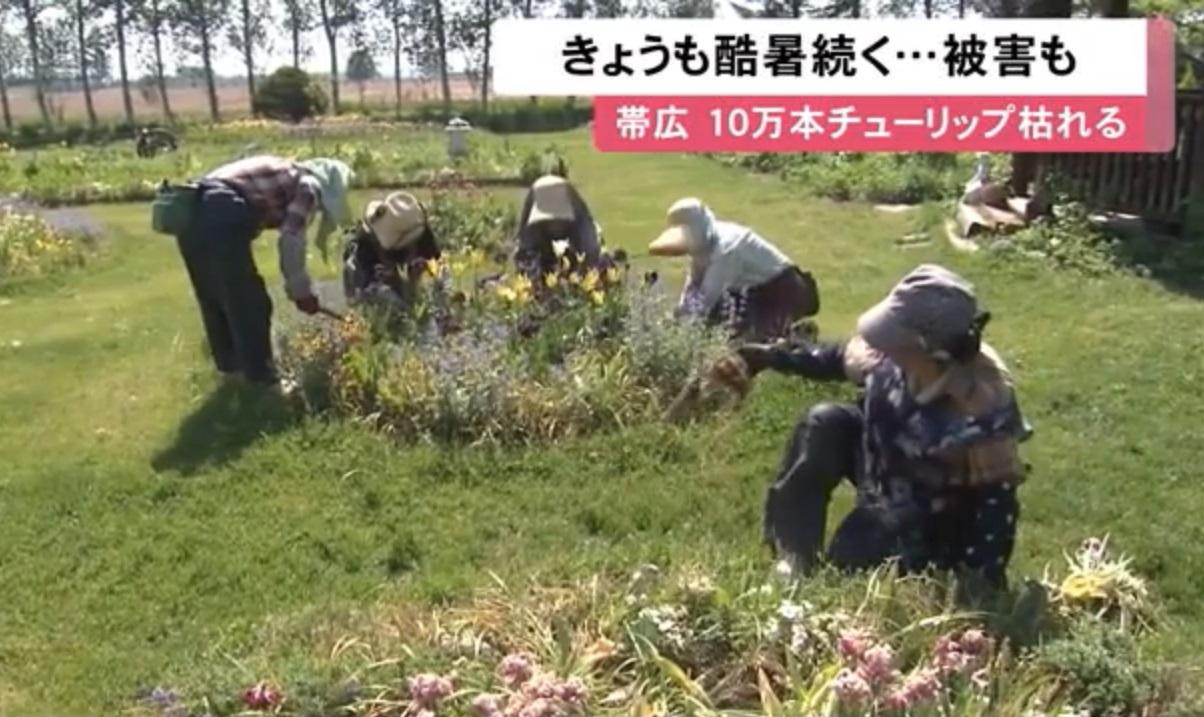 北海道10万株郁金香被热死,花农只好清除枯萎的花球。网上图片