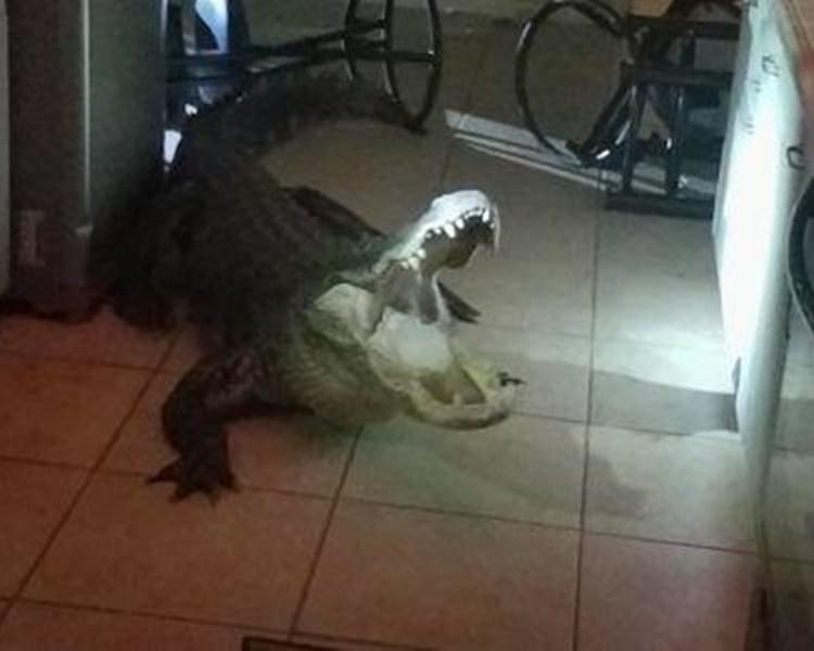 巨鳄闯入民居张开血盆大口。