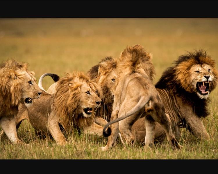 有人报称在一个矿场附近发现那批狮子的行蹤。配图与本文无关