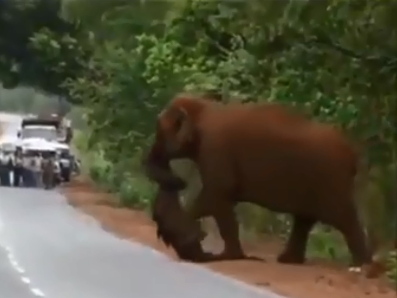 一隻大象為用鼻拖着一隻小象屍體。 影片截圖