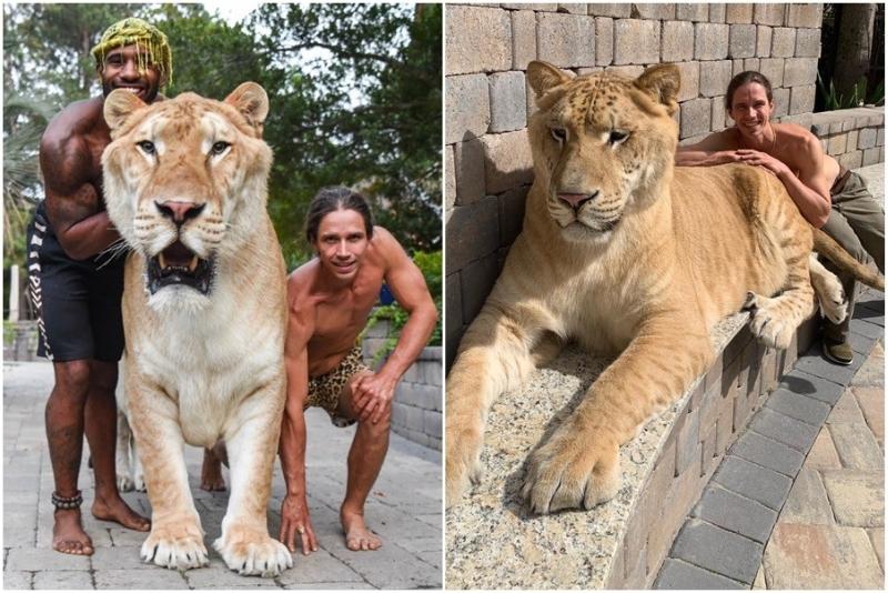 獅虎混種沒法獨自生存,被稱為人類貪婪所致的悲劇。(網圖)