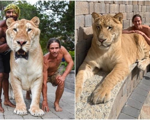 319公斤獅虎混種溫馴如貓 人類貪婪所致的悲劇