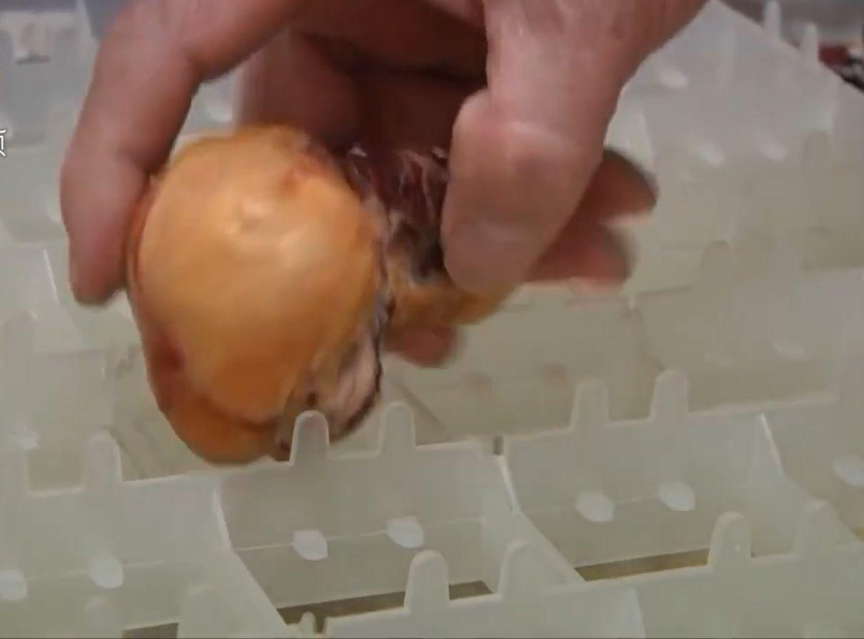 獸醫師指,黃金蛋根本不是寶貝。網圖