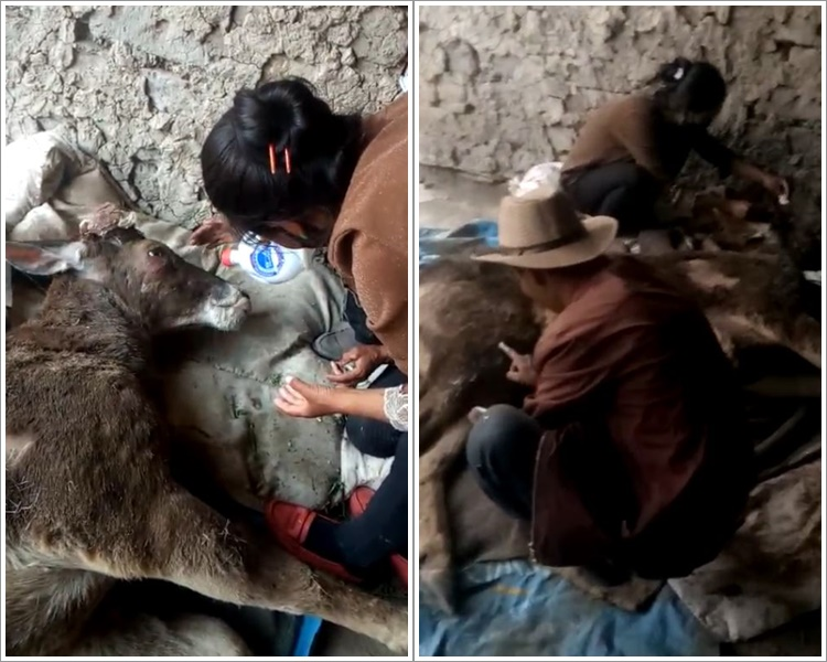 西藏村民發現一級保護動物白唇鹿受傷鹿角疑被割。網圖