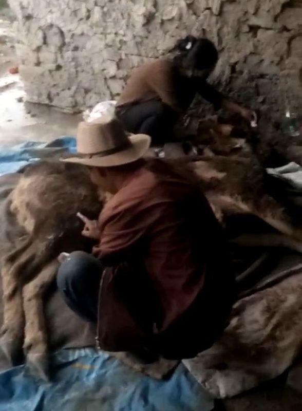 獸醫為白唇鹿消毒傷口、換藥包紮。網圖