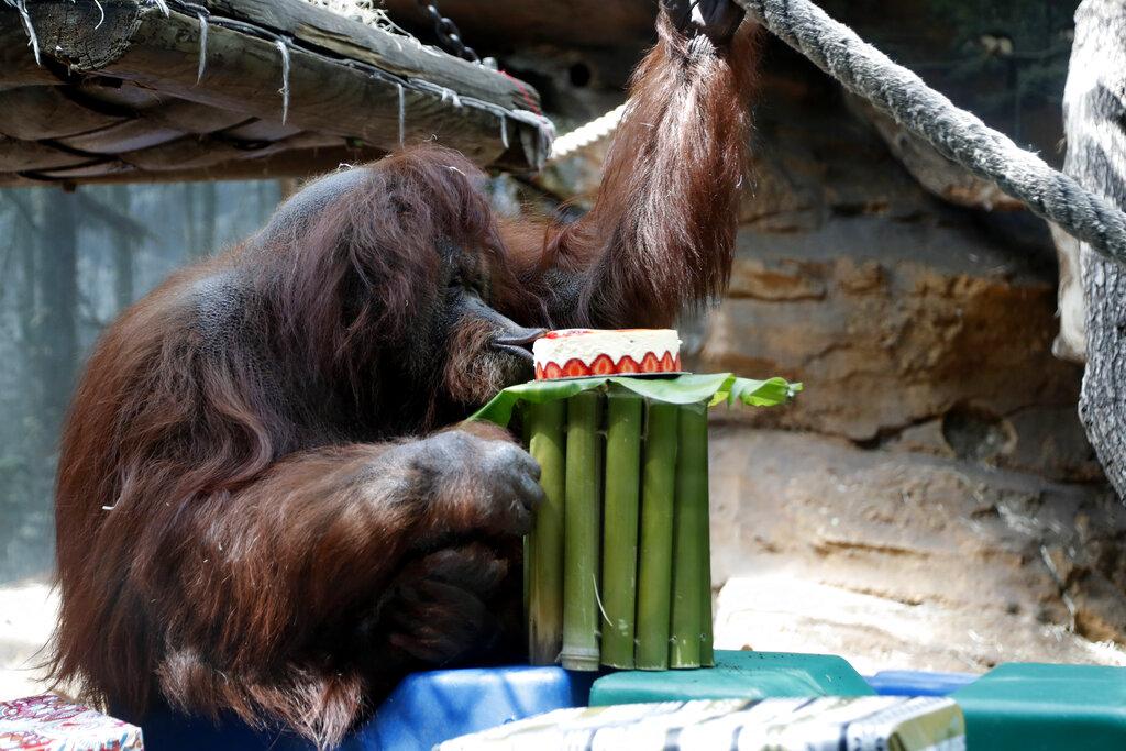 全球其中一只最年老婆罗洲红毛猩猩奈奈特在巴黎一间动物园庆祝50岁生日。 图片