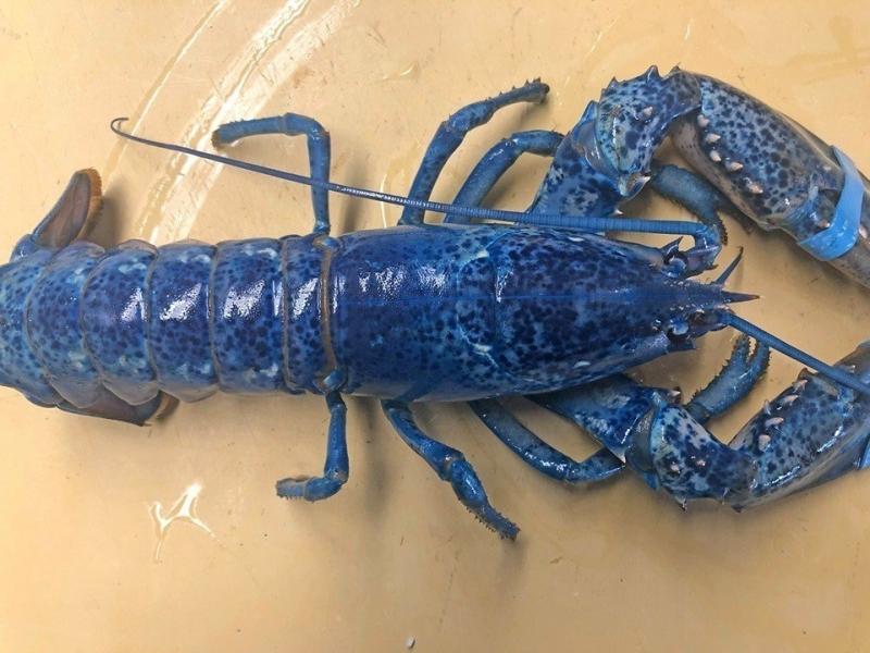 极为罕见的宝蓝色龙虾。(网图)