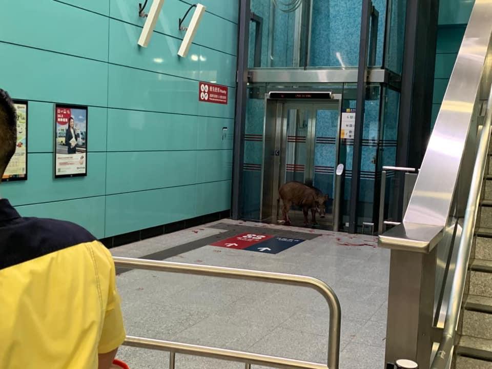 一隻疑似腳部受傷的野豬在堅尼地城港鐵站內出現。網民Edith Cheng圖片