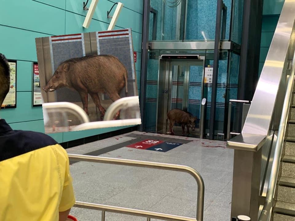 一隻疑似腳部受傷的野豬在堅尼地城港鐵站內出現。