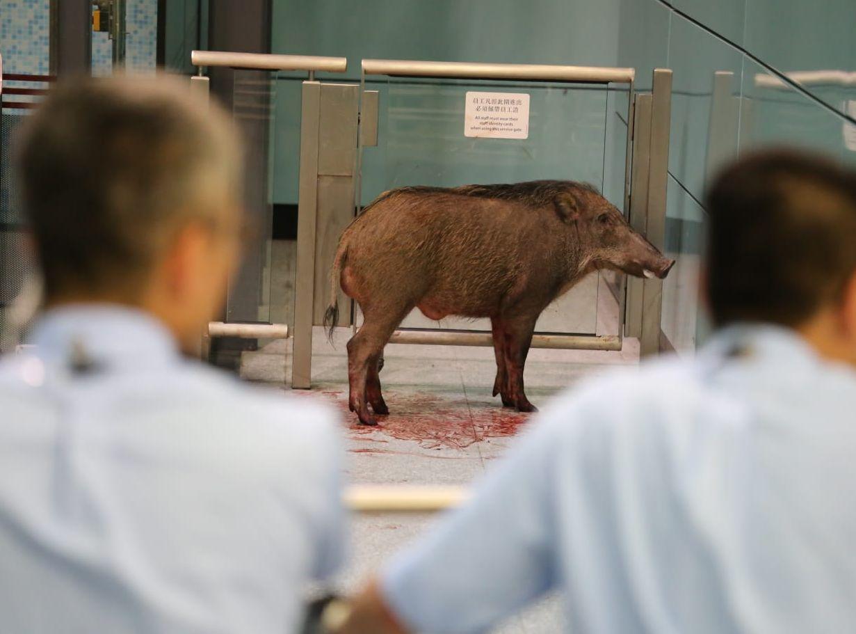 野豬闖港鐵站 被獸醫開兩槍擊暈