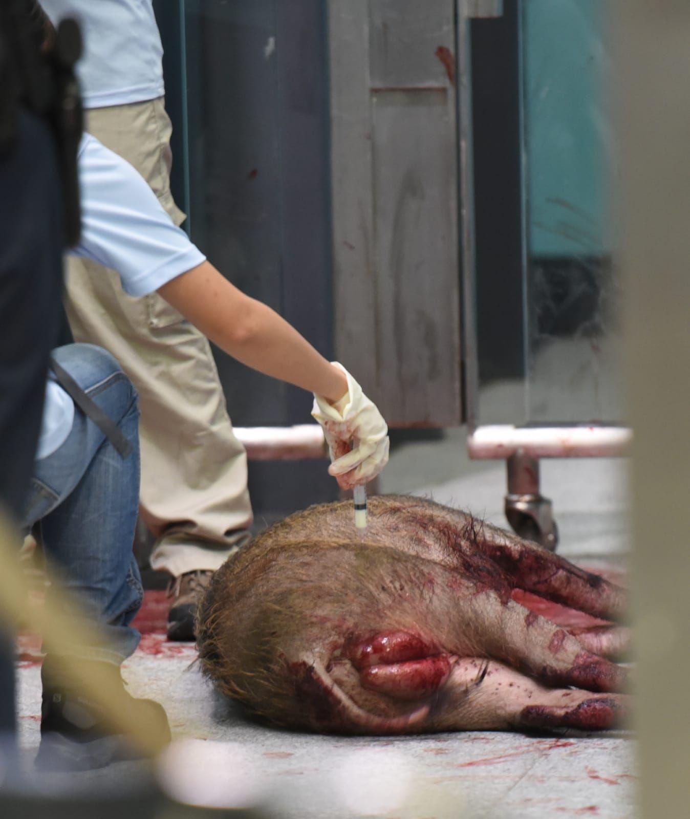 漁護署人員接報到場,並對野豬開兩發麻醉槍,其後將牠運走。