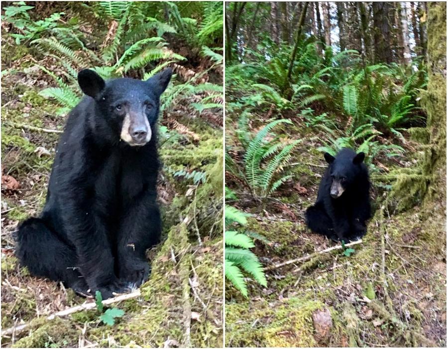 遊人餵飼連累黑熊留戀公園。網上圖片