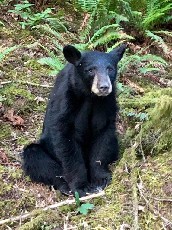 美國野生動物部門無奈槍殺黑熊。網上圖片