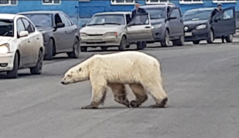 一只饥饿的北极熊出现在俄国诺里尔斯克市郊区马路上。