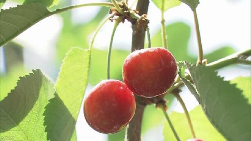 山形县樱桃产量居日本之冠。网上图片
