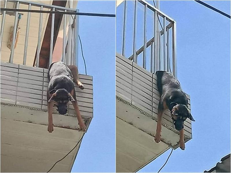 台灣嘉義有狗隻卡住露台欄桿倒吊慘死。網圖
