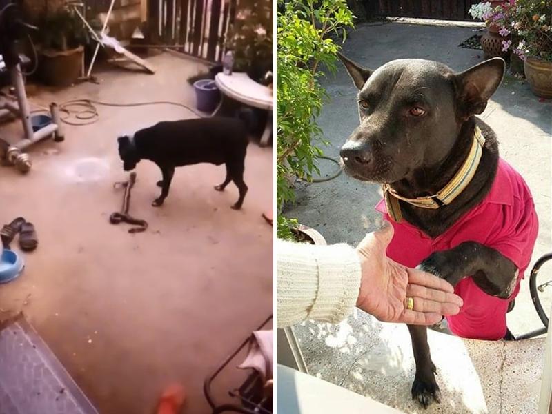 近日泰國一名網民在Facebook上分享自己的忠犬與眼鏡蛇搏鬥的英勇片段。 Kirana Lekkhen FB圖片