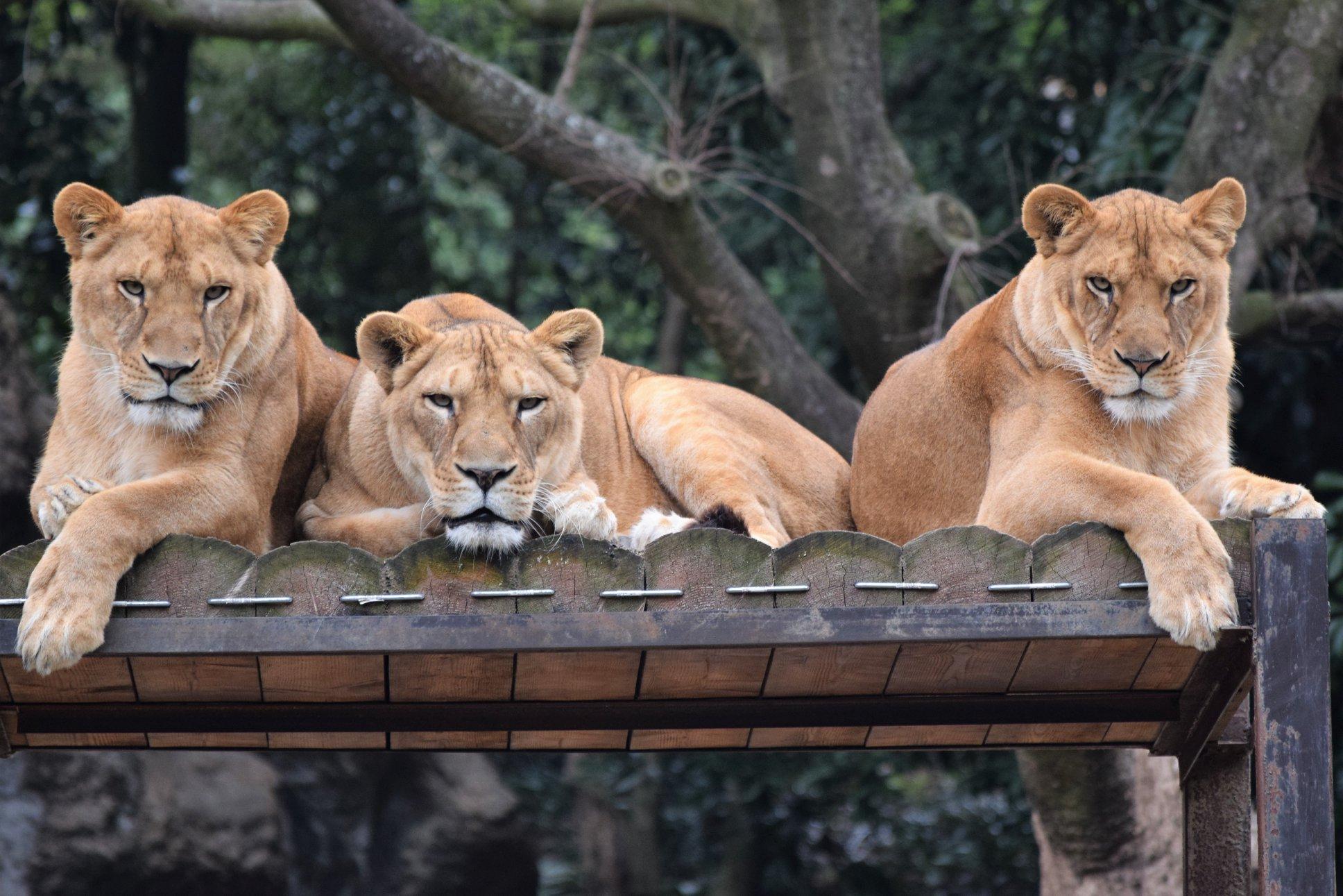 旁邊的真獅子亦看得目瞪口呆。Twitter圖片