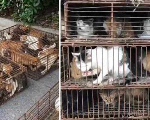逾700待宰貓貓 高溫困鐵籠暴曬缺水慘叫不絕
