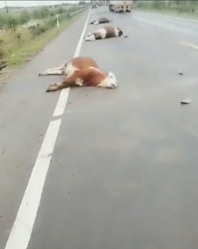 13頭牛當場被撞死慘不忍睹。