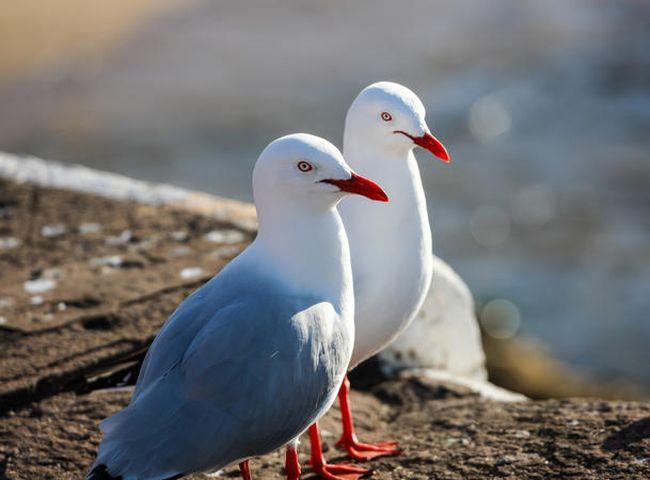澳洲銀鷗攜帶抗藥性超級病菌。示意網圖