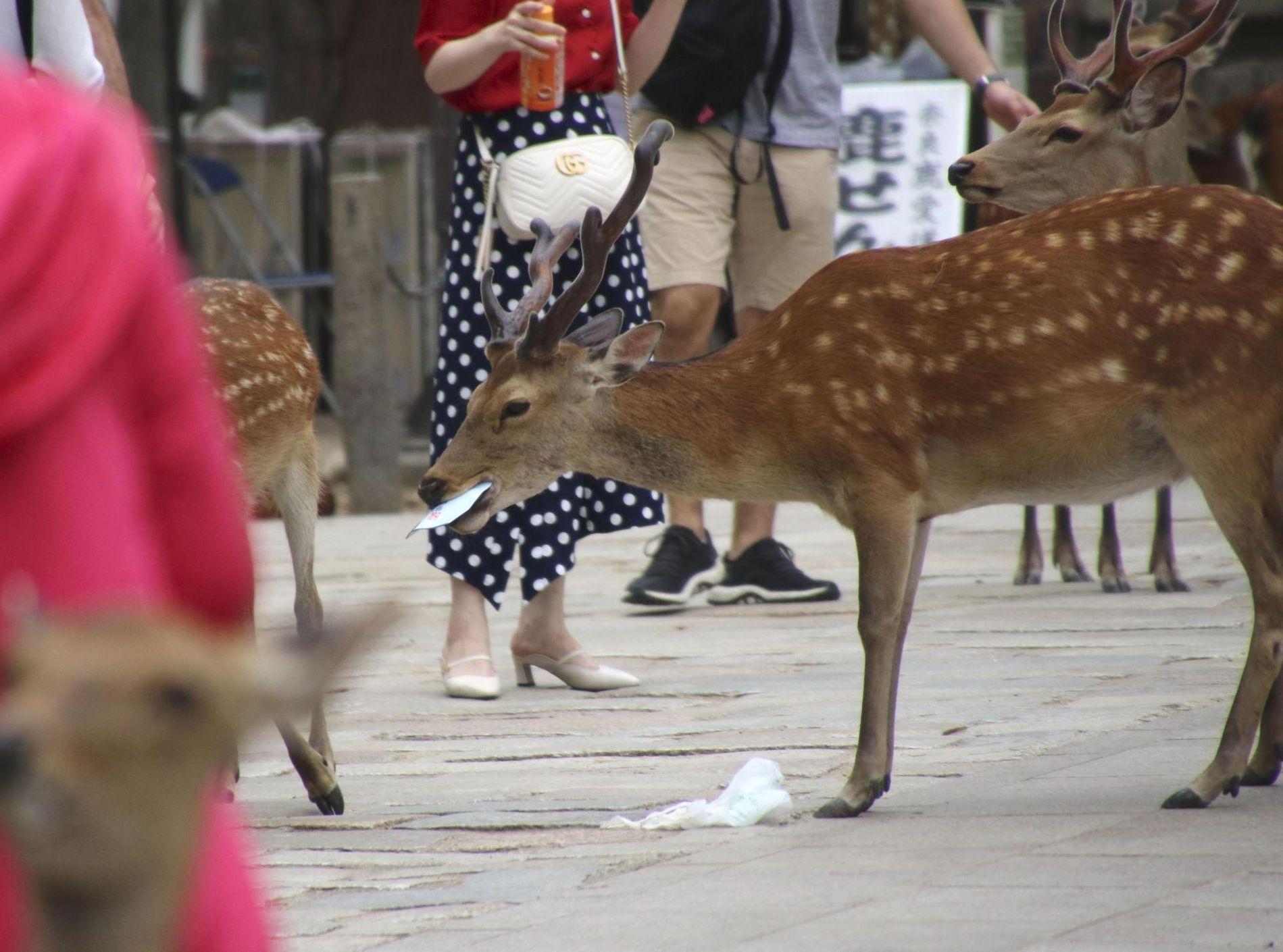奈良公園自今年3月以來,有14隻鹿死亡。網圖