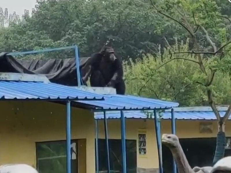 合肥市野生動物園一隻大猩猩從獸舍內脫逃, 被封堵在園內已被控制 。(網圖)