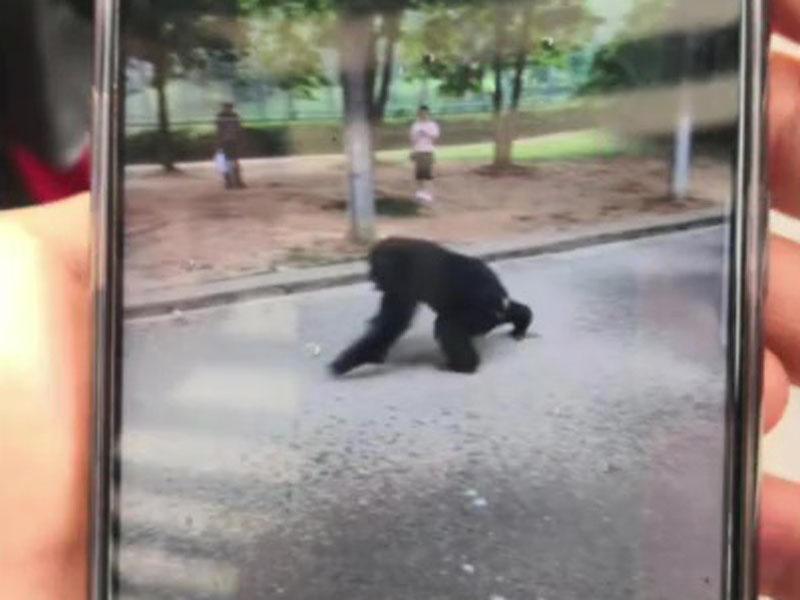 合肥市野生動物園一隻大猩猩從獸舍內脫逃 。(網圖)