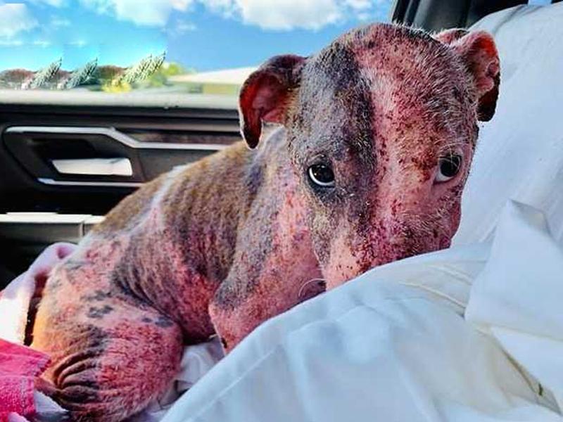 小狗被救起身全身被曬傷,發出惡臭。(網圖)