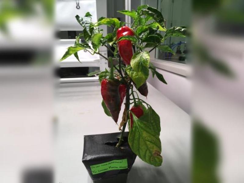 美國太空總署正不斷嘗試在太空種植各種植物。網圖